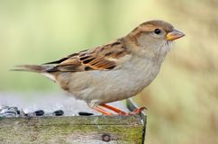 Sparrow in bird table. Isolated on yellow background Royalty Free Stock Images