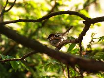 Sparrow bird on a twig Stock Images