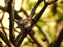 Sparrow bird on a twig Royalty Free Stock Photography