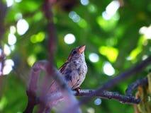 Sparrow bird on a twig Royalty Free Stock Photos