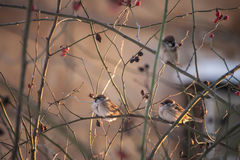Sparrow bird Stock Image