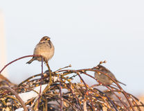 Sparrow bird on the twig Stock Photography