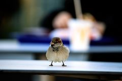 Sparrow bird in urban environment. Close-up shot Stock Image