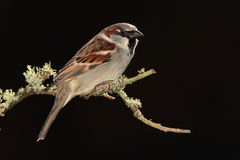 Sparrow bird. Royalty Free Stock Images