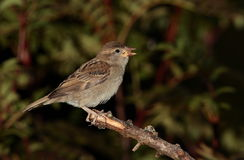 Sparrow  bird. Royalty Free Stock Photo