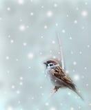 Sparrow bird in winter. Sparrow bird on winter background Royalty Free Stock Photo