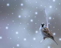 Sparrow bird in winter. Sparrow bird and winter background Royalty Free Stock Photos