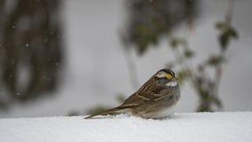 Sparrow bird in winter Stock Image
