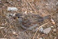 A Sparrow Bird Stock Image