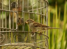 Sparrow and birdcage Royalty Free Stock Images