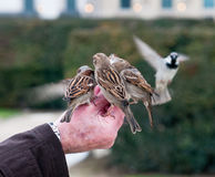 Sparrow birds Feeding From Hand Royalty Free Stock Photo