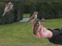 Sparrow birds feeding with seeds from a human Hand Stock Images