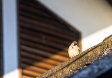 Sparrow birds found on farmland, open community. Eurasian Tree Sparrow Passer montanus, also known as bird habitat. Easily discovered And a wildlife protection Stock Image