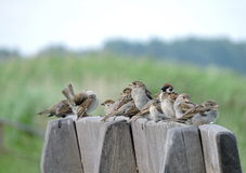 Sparrow birds Stock Photos