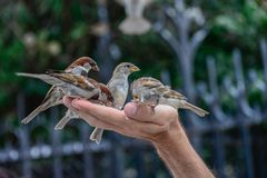 Sparrow birds picking grains in hand of a man royalty free stock photo