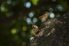Sparrow when the birds return. Passer domesticus set free. Sparrow when the birds return. House sparrow peaceful land attracts birds. Passer domesticus - the royalty free stock images