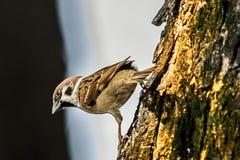 Sparrow when the birds return. Passer domesticus set free. Sparrow when the birds return. House sparrow peaceful land attracts birds. Passer domesticus - the stock photos