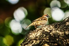 Sparrow when the birds return. Passer domesticus set free. Sparrow when the birds return. House sparrow peaceful land attracts birds. Passer domesticus - the royalty free stock photography