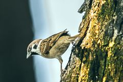 Sparrow when the birds return. Passer domesticus set free. Sparrow when the birds return. House sparrow peaceful land attracts birds. Passer domesticus - the stock image