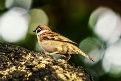 Sparrow when the birds return. Passer domesticus set free. Sparrow when the birds return. House sparrow peaceful land attracts birds. Passer domesticus - the stock photography
