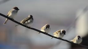 Sparrow birds sitting on wire. Five Sparrow birds sitting on wire stock video