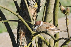Sparrow birds on tree branch. Brown sparrow  bird on tree branch in spring, Lithuania Royalty Free Stock Image