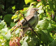 Sparrow birds Stock Photo