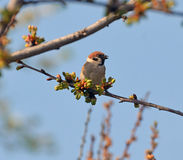 Sparrow on a blooming branch stock photo