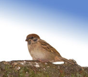 Sparrow and blue sky Royalty Free Stock Images