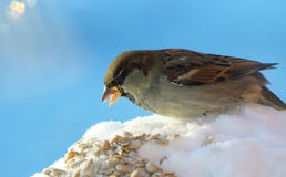 Sparrow on blue sky background Royalty Free Stock Image