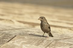 Sparrow on the boards Stock Images