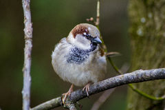 Sparrow on the bough Stock Image