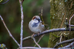 Sparrow on the bough Royalty Free Stock Photos