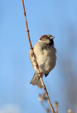 Sparrow on a branch. In a sunny day Stock Photo