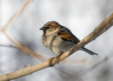 Sparrow on a branch. In a sunny day Royalty Free Stock Photo