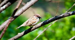 Sparrow on the branch Stock Photos