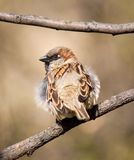 Sparrow on a branch. Fluffy sparrow with a steadfast glance Stock Photo