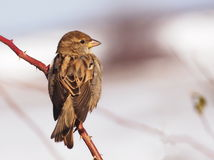 Sparrow on branch Stock Photography