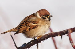 Sparrow on branch Royalty Free Stock Photo