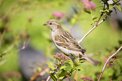 Sparrow on a  branch Royalty Free Stock Images