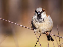A sparrow on a branch Royalty Free Stock Images