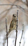 Sparrow on the branch. Brown sparrow on the branch Royalty Free Stock Photo