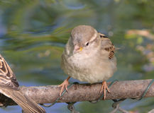Sparrow on branch. Close up of sparrow perched on branch with water in background Stock Photos