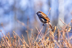 Sparrow on a branch. Adult sparrow warily eyeing sitting on a tree branch Stock Images