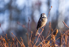 Sparrow on a branch. Adult sparrow warily eyeing sitting on a tree branch Royalty Free Stock Photo