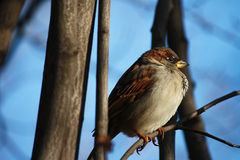 Sparrow on a branch against the blue sky. One a sparrow on a branch against the blue sky Royalty Free Stock Photo