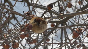 Sparrow on a branch of apple. Bird on a branch in the winter freeze stock footage
