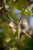 Sparrow on branch. In autumn day Royalty Free Stock Image
