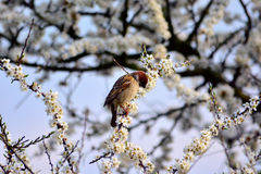 Sparrow on branch Royalty Free Stock Photography