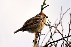 Sparrow on branch Stock Images